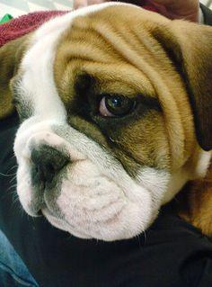 Little Bulldog needs some lovin'