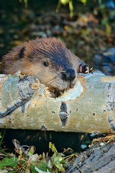 Beaver (Castor canadensis) chewing on fallen cottonwood tree, Western U.S., Fall.