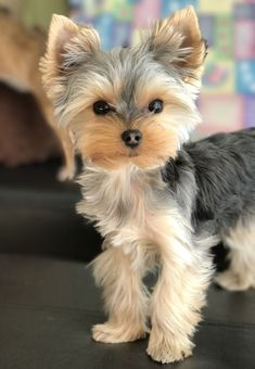 Super Cute Puppies, Cute Baby Dogs, Cute Little Puppies, Cute Dogs And Puppies, Cute Little Animals, Pet Dogs, Pets, Chihuahua Dogs, Biewer Yorkie
