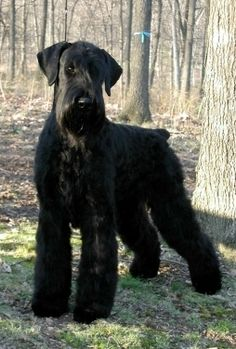 Giant Schnauzer---This is the next kind of dog we will get...its like a giant rudy!