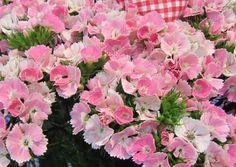 nice Marvelous Dianthus Barbatus