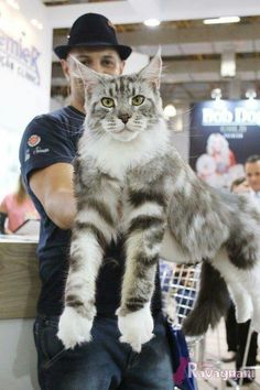 Maine Coon Cat Gallery - Cat's Nine Lives Baby Cats, Cats And Kittens, Ragdoll Kittens, Funny Kittens, Bengal Cats, White Kittens, Adorable Kittens, Kitty Cats, Big House Cats