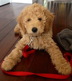 standard poodle teddy bear clip - Google Search