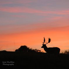 Photograph of a deer silhouette at sunset, by Jane Mucklow (square version). Available as a greetings card and print. Deer Silhouette, Business Headshots, Flower Prints, Greeting Cards, Sunset, Landscape, Park, Flowers, Photography
