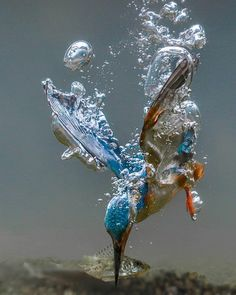Kingfisher making his dive! Kingfisher making his dive! Pretty Birds, Love Birds, Beautiful Birds, Animals Beautiful, Cute Animals, Baby Animals, Animal Photography, Nature Photography, Photography Magazine