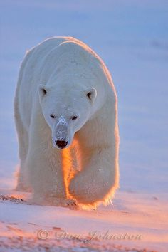 What do polar bears eat? In this article we are going to focus on the types of food that polar bears eat in the wild as well as in captivity. Animals And Pets, Baby Animals, Cute Animals, Beautiful Creatures, Animals Beautiful, Baby Polar Bears, Baby Pandas, Grizzly Bears, Panda Bears