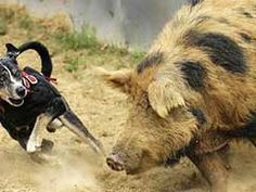 Hog Hunting With Dogs - Why Is It Gaining Popularity? - http://www.isportsandfitness.com/hog-hunting-with-dogs-why-is-it-gaining-popularity/