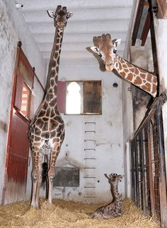 A one-day old giraffe calf and its parents Jacky and Budy are seen in their enclosure at the Buenos Aires Zoo. Picture: REUTERS/Laura Gravino/Buenos Aires Zoo