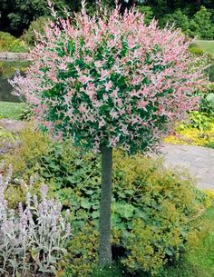 Dappled Willow Tree A stunning variegated willow tree! One of the most striking ornamental trees! Pretty pink shoots are show-stoppers. Variegated leaves are creamy white and green. Plant in sun or partial shade. We send 2 - wh Garden Shrubs, Garden Trees, Lawn And Garden, Patio Trees, Garden Plants, Dwarf Trees For Landscaping, Front Yard Landscaping, Landscaping Design, Trees And Shrubs