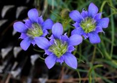 """This mystery plant is a perennial herb, blooming from October well into December.  """"Pine-barrens gentian,"""" Gentiana autumnalis Courtesy of Will Stuart."""