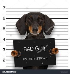 dachshund sausage dog holding a police department banner , as a mugshot photo, at police office #Dachshund