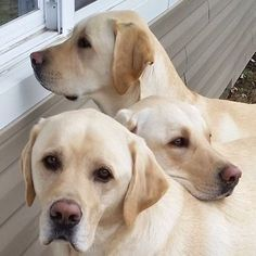 beautiful yellow labs ( look like Ches, Tiki and Finny)
