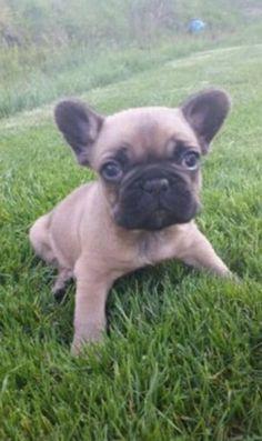 Sir Henry Französische Bulldogge | Pawshake