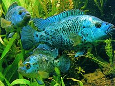 Electric Blue Jack Dempsey ~ These are pretty & more calm, peaceful than a regular Jack Dempsey which can be quite aggressive.