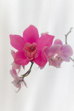 Pink Orchid --- Phot by Alejandro Aramburu