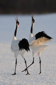 "A beautiful image of ""dancing"" Red-crowned Cranes in the cold Kushiro, Hokkaido, Japan"