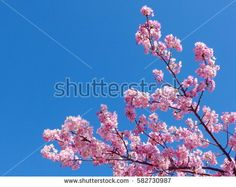 pink cherry blossoms blooming and blue sky.