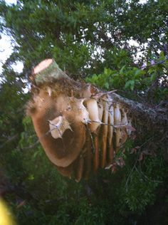 feral comb in Winter Park, Fl. April '12 - P. Treadwell  Look at all that honeycomb!