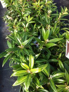 Himalayan Sweet Box (Sarcococca hookeriana var. humilis)