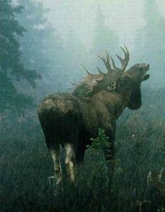 Moose Pics, Moose Pictures, Animal Pictures, Moose Hunting, Bull Moose, Moose Art, Moose Antlers, Beautiful Creatures, Animals Beautiful