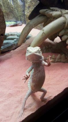 Baby bearded dragon, Lady :-