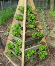 strawberries growing in the pyramid planter