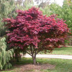 1000 ideas about acer palmatum on pinterest bonsai. Black Bedroom Furniture Sets. Home Design Ideas