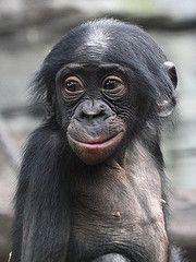 love baby bonobo