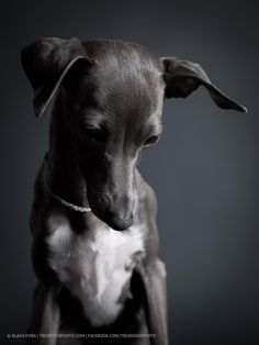 laila the italian greyhound dog