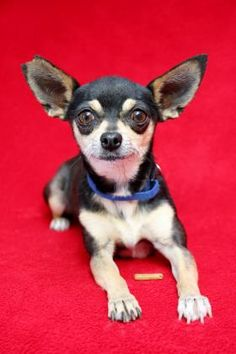 Petango.com – Meet Tiny, a 6 years 3 months Chihuahua, Short Coat / Mix available for adoption in Yucaipa, CA