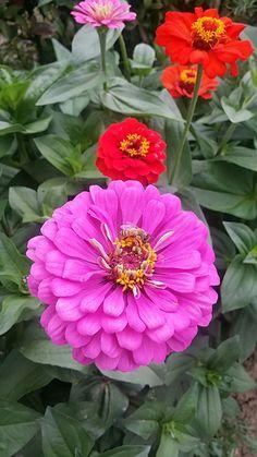 Zinnias, Flower, Beautiful Flowers, Backgrounds, Plants, Flowers