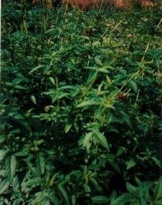 Balsamstrauch Cedronella triphylla Teekraut Samen Bio | eBay