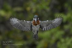 Kingfisher by WildRic #animals #animal #pet #pets #animales #animallovers #photooftheday #amazing #picoftheday