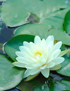 The sight of a water lily in bloom speaks of serenity and peace to me. Water Flowers, All Flowers, Exotic Flowers, Amazing Flowers, Beautiful Flowers, Beautiful Gardens, Calla, Lily Pond, Aquatic Plants