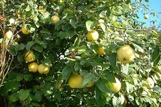 Old quince tree on our property. Fruit, Pictures, Trees, Big, Plant, Photos, Photo Illustration, Tree Structure, Wood