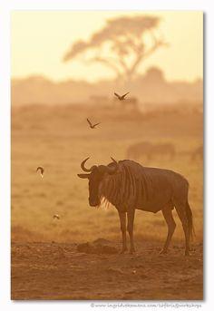 Gnoe met vriendjes bij zonsondergang in Amboseli, Kenia. Door communitylid IngridVekemans - NG FotoCommunity © Upload zelf je mooiste foto's op www.nationalgeographic.nl/gebruiker/fotografie/foto/toevoegen