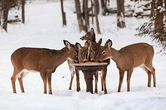 I would include a deer feeder in my dream garden so I could continue to enjoy the beauty of these animals!!! . . . How to build a deer feeder