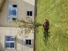 Cherry tree in loving memory of my Mom 2013