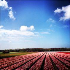 #tulips #tulpen #instagram