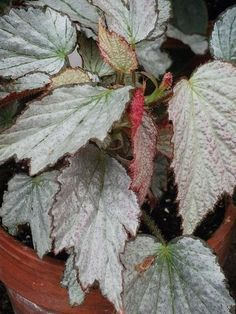 Begonia 'Two Face'