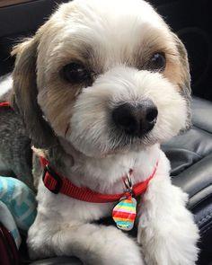 もっと…笑って笑ってU。・×・)ノ  トリミング帰りでお疲れのご様子🤣🤣🤣 #可愛い#感謝#トリミング #愛犬#元保護犬#迷子犬#シーズーミックス#マルシーズー#福岡犬民#日本#福岡#ig福岡県人会 #スマホ写真部#スマホ撮り#お写んぽ#車 #疲れた#無表情#カメラ嫌い同好会  #dogstagram#japan#fukuoka#family#Shihtzumix#Maltesemix#camerashy#mixdog#rrescuedog #Grooming #tired