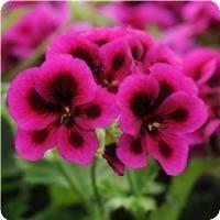 Candy Flowers™ Violet Regal Geranium