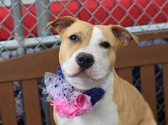 CHLOE - A1069602 - - Brooklyn  Please Share:   TO BE DESTROYED 04/15/16 ****C STANDS FOR CUTE**** Her name sounds like a flower or parfume. Somehow Chloe found herself dumped at the Brooklyn ACC by her former owner who claimed personal problems. Shelter staff gave her a GREEN behavior rating due to her friendly nature and allowing all handling. She is a 1 year old tan/white American Bull Terrier mix weighing in at 57 pounds. Please consider adopting or fostering this beauti