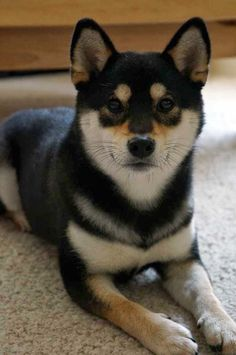 'SHEEBS' ~ Last Pinner 📌 You don't see the black, white and tan as much as the red/white and all white. Red/white is the most common Shiba Inu color. Shiba Inu Colors, Shiba Inu Black, Dog Houses, I Love Dogs, All Dogs, Love You, Animals Beautiful, Beautiful Dogs, Cute Puppies