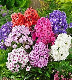 Mixed Tall Summer Phlox - 6 root divisions