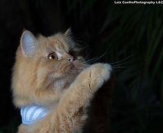 Untitled by luiz coelho on Persian, Animals, Cats, Animais, Animales, Animaux, Animal, Dieren
