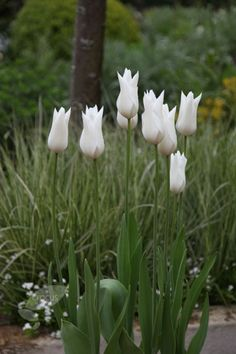 lily flowered Tulipa 'White Triumphator': for the white bed