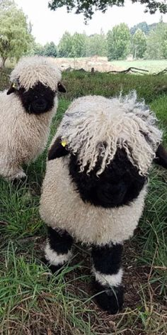 Please Stop What You're Doing And Look At These Adorable Sheep Farm Animals, Animals And Pets, Funny Animals, Cute Animals, Beautiful Creatures, Animals Beautiful, Cute Sheep, Sheep And Lamb, Tier Fotos