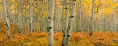 Autumn Aspens Alpine Loop by John Telford