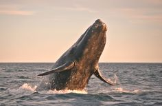 Trump Gives Go Ahead To Seismic Blasting In Atlantic, Despite Threat To Endangered Marine Life Neil Young, Hamsters, Antarctica Cruise, Whale Facts, Vida Animal, Heat Map, Baja California Sur, Gray Whale, Bitcoin Transaction